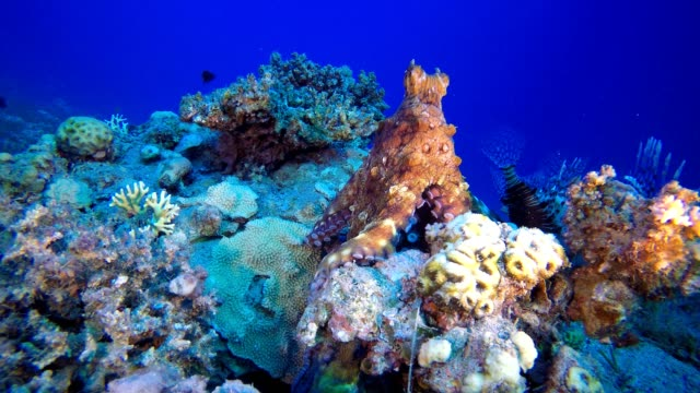 Octopus and Lionfish Undersea Red octopus (Octopus cyanea) and  lionfish (Pterois miles). Underwater fish reef marine. Tropical colorful underwater seascape. Reef coral scene. Coral garden seascape. Colorful tropical coral reefs aquatic organism stock videos & royalty-free footage