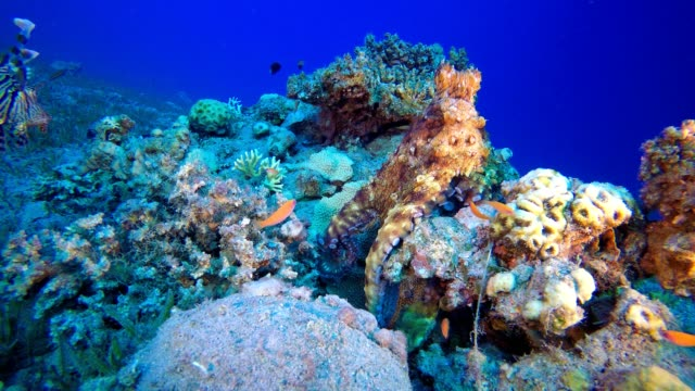 Octopus and Lionfish Red octopus (Octopus cyanea) and  lionfish (Pterois miles). Underwater fish reef marine. Tropical colorful underwater seascape. Reef coral scene. Coral garden seascape. Colorful tropical coral reefs aquatic organism stock videos & royalty-free footage