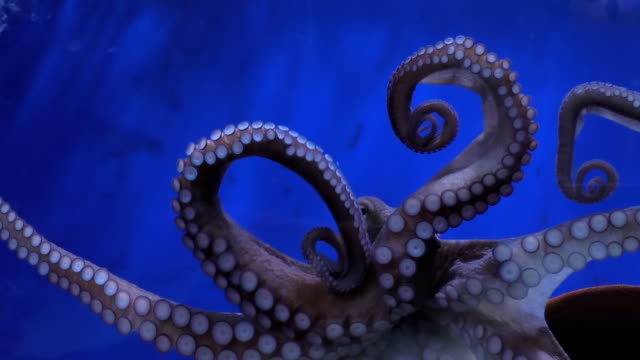 octopus arms and mouth - octopus stock videos & royalty-free footage