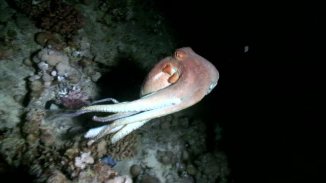 octopus at night - octopus stock videos & royalty-free footage