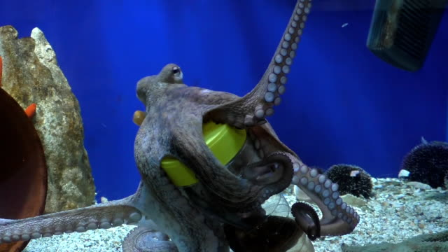 octopus in aquarium taking fish from bottle - octopus stock videos & royalty-free footage