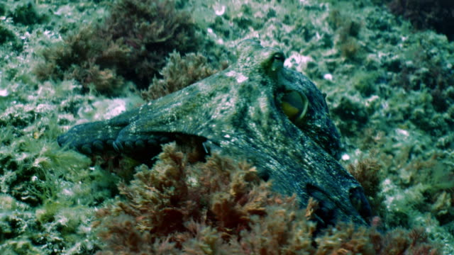 Octopus moves over mediterranean reef area Tracking shot of octopus on rocky environment plus algae. Slight color changes of his body are visible. camouflage clothing stock videos & royalty-free footage