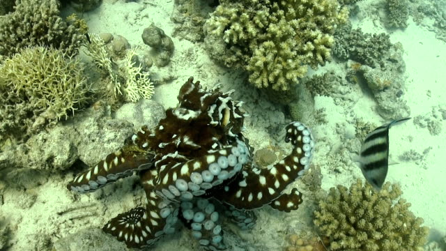 octopus on coral reef - octopus stock videos & royalty-free footage