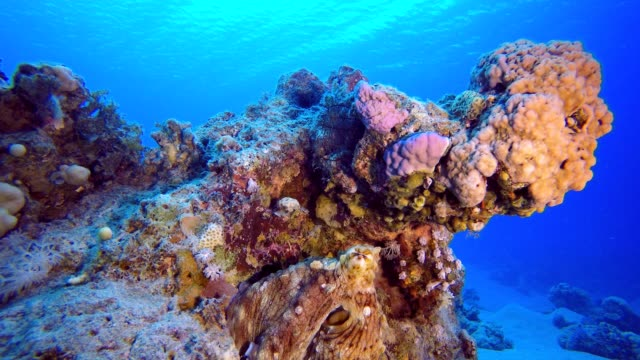 Octopus Under Blue Sea Red octopus (Octopus cyanea) and  lionfish (Pterois miles). Underwater fish reef marine. Tropical colorful underwater seascape. Reef coral scene. Coral garden seascape. Colorful tropical coral reefs aquatic organism stock videos & royalty-free footage