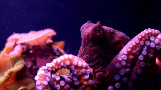 octopus - octopus stock videos & royalty-free footage