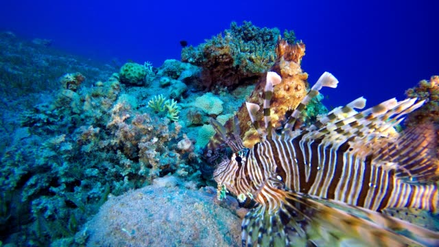 Octopus Watching Lionfish Red octopus (Octopus cyanea) and  lionfish (Pterois miles). Underwater fish reef marine. Tropical colorful underwater seascape. Reef coral scene. Coral garden seascape. Colorful tropical coral reefs aquatic organism stock videos & royalty-free footage