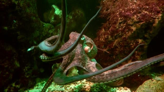 octopus with tentacles, octopus vulgaris, common octopus - kamuflaż filmów i materiałów b-roll