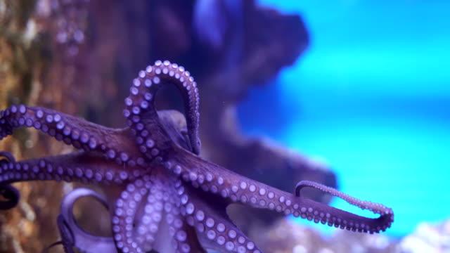 Octopus-close up video