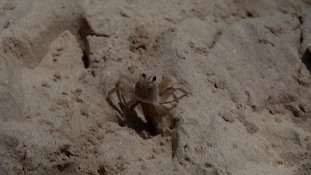 Ocypode cordimanus runs along sandy beach stock footage video video