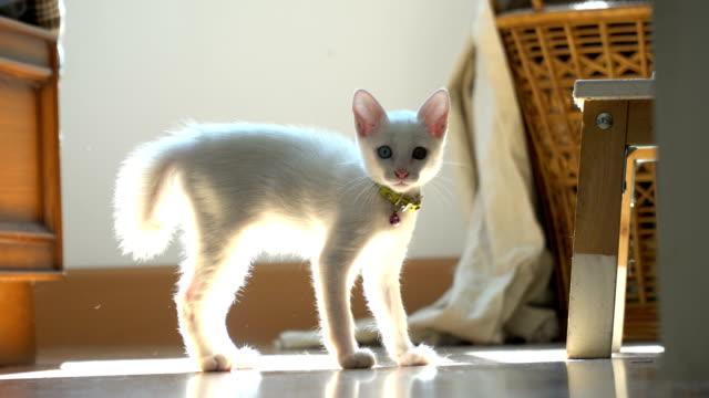 vídeos y material grabado en eventos de stock de odd-ojos gato - gato doméstico