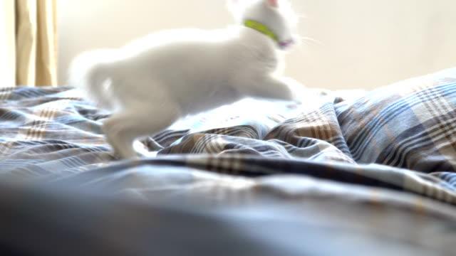 odd-eyes cat - kociak filmów i materiałów b-roll