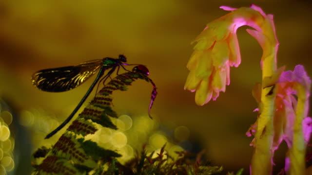 odonata , seven spot ladybird , dragonfly video