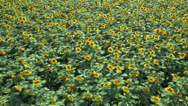 AERIAL of a field of sunflowers on a sunny day video