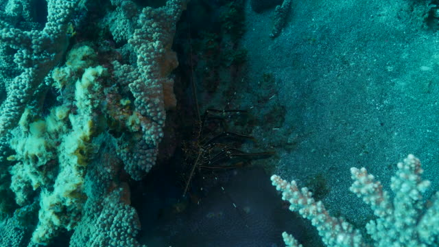 Ogasawara lobster at deep sea reef, Japan