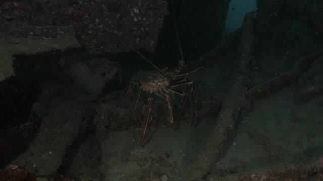 Ogasawara Spiny Lobster (Panulirus brunneiflagellum) stay inside the abandoned undersea shipwreck in Japan