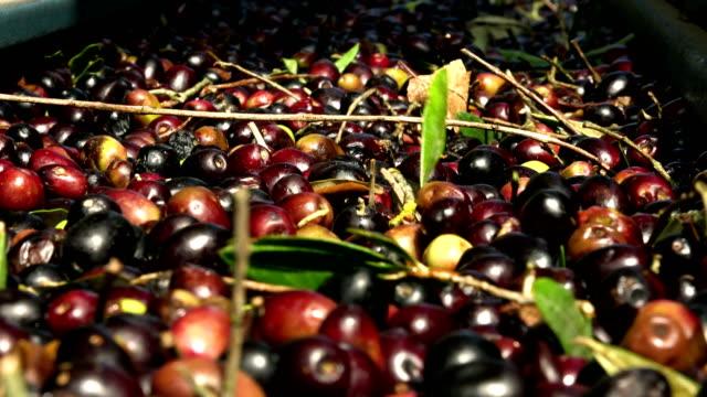 vidéos et rushes de bande transporteuse moulin - production d'huile d'olive - huile: fraisage d'huile extra vierge - olivier