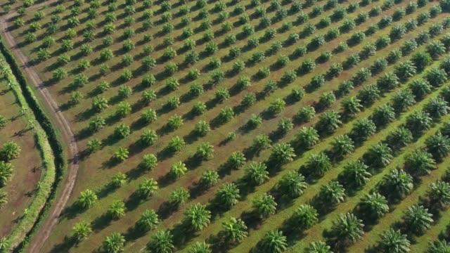 vídeos de stock, filmes e b-roll de plantação de dendê - plantação