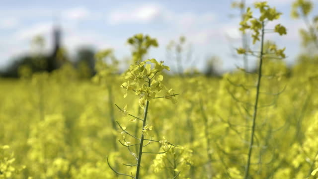 Oilseed rape, crop grown for oilseeds, mainly used for oil production video