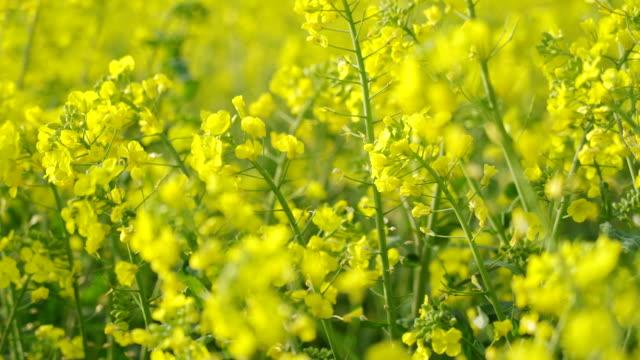 Oilseed rape field