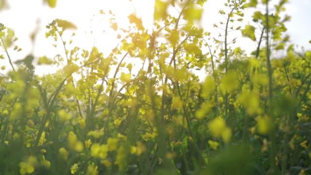 SLOW-MOTION Oilseed rape field