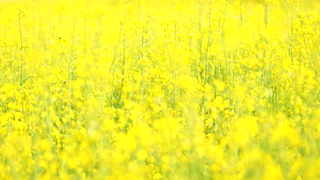 Oilseed rape Oilseed rape monoculture stock videos & royalty-free footage
