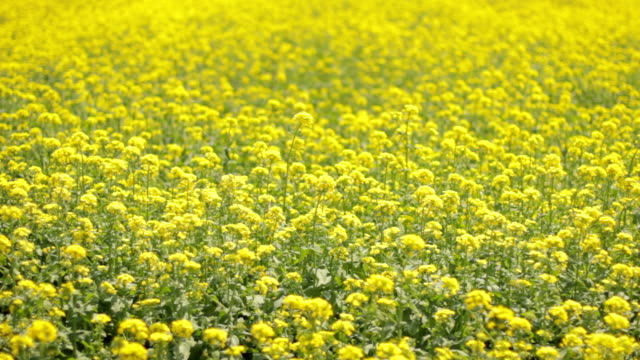Oilseed rape Outdoor shot of cultivated field with yellow canola flowers swaying in the wind. saturated color stock videos & royalty-free footage