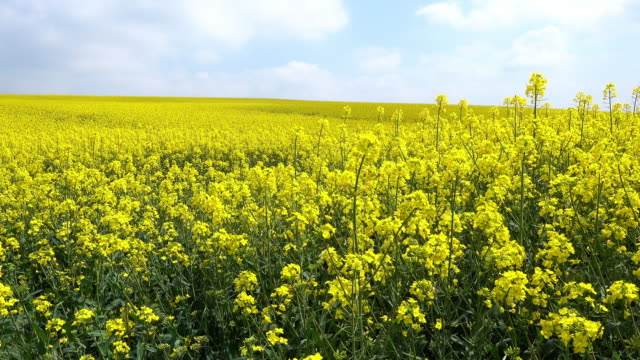 oilseed rape - colza video stock e b–roll