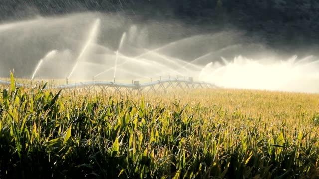 vídeos de stock, filmes e b-roll de okanagan valley campo de milho de irrigação - região thompson okanagan colúmbia britânica