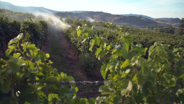 vídeos de stock, filmes e b-roll de irrigação do vinhedo de okanagan 4k uhd - região thompson okanagan colúmbia britânica