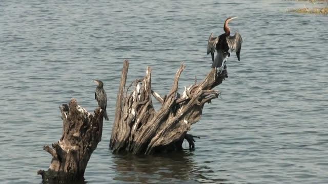 Okavango Delta, Moremi National Park, Botswana The birds of Africa. Okavango Delta, Moremi National Park, Botswana. bird of prey stock videos & royalty-free footage