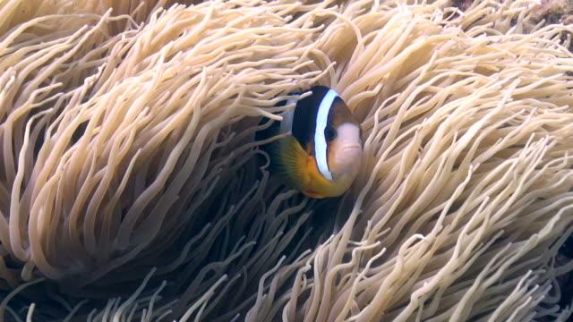Okinawa Clownfish video
