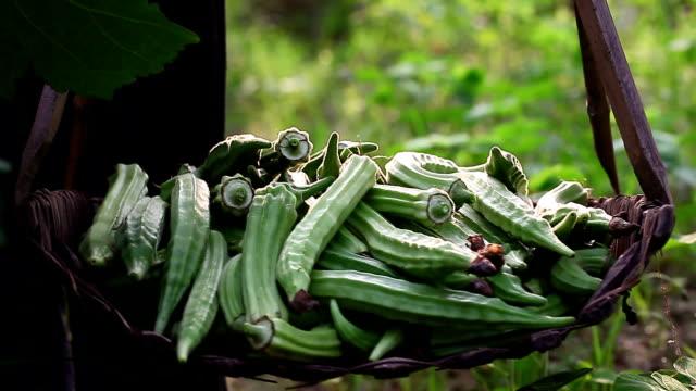 okra in basket harvested in summer