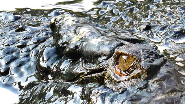 Old big crocodile floating in the pond.