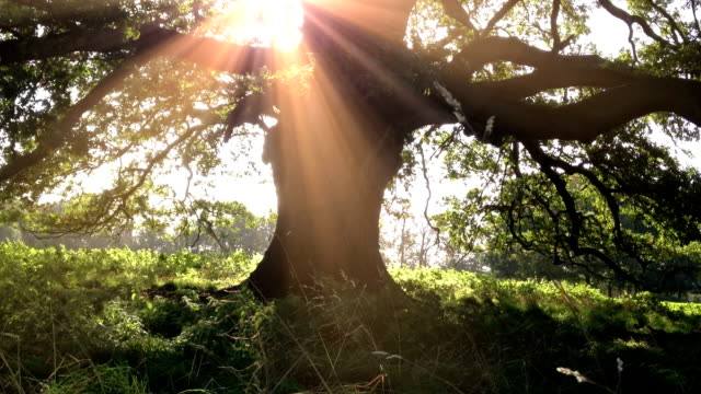Old British Oak Tree video