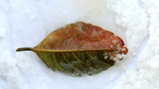 Old Brown leaf cover by ice and melting, Time lapse. video