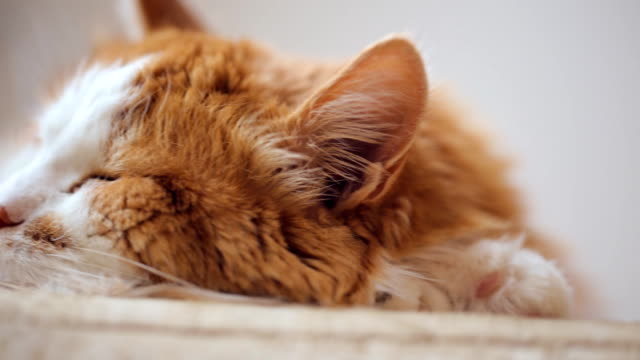 Old cat sleeping on the sofa closeup
