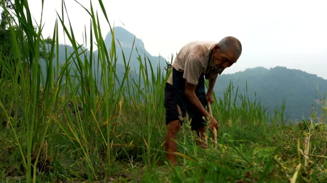 Old chinese farmer standing against rice field Rice fields in the Karst Mountains of Guilin, China poverty stock videos & royalty-free footage