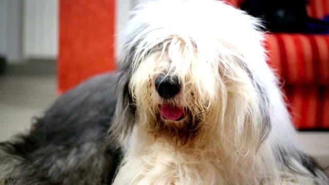 Old english sheepdog video