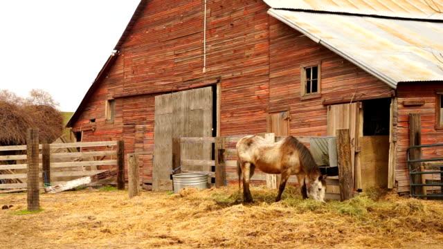vídeos de stock e filmes b-roll de old farm livestock grazes in front of horse barn - celeiro
