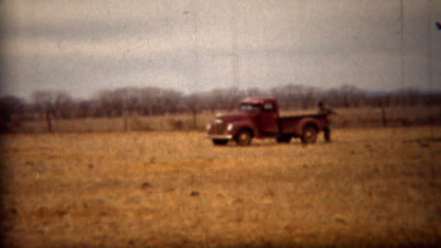 1951: Old farm truck driving in golden cattle field.