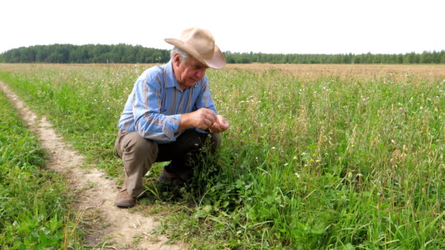 Old Farmer In A Cowboy Hat, Agriculture Field, Checks Maturation Of Grain Crop video