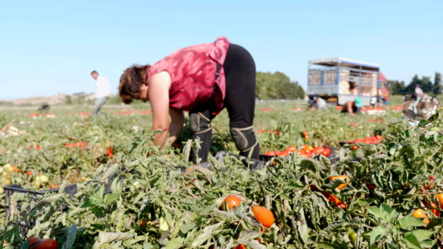 old farmer picking fresh tomatos in south italy - agricoltrice video stock e b–roll