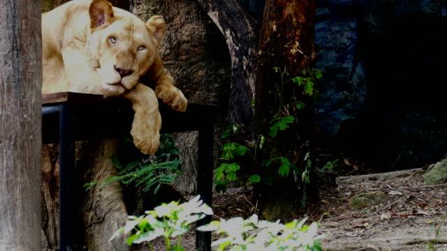 yaşlı kadın aslan dinleniyor. üst düzey dişi aslan yalan - etçiller stok videoları ve detay görüntü çekimi