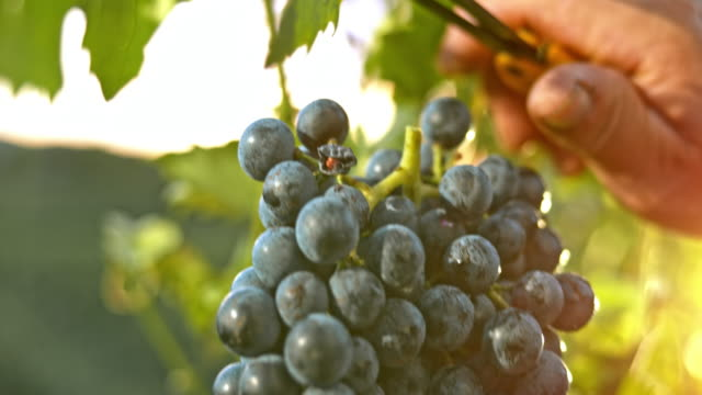 slo mo old hand cutting red grape cluster at sunset - azienda vinivola video stock e b–roll