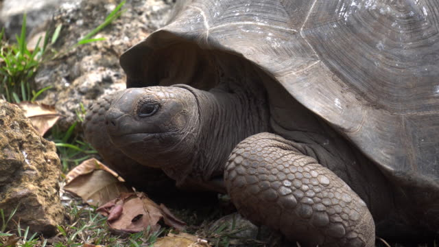 Old, land turtle living on the island 2 tortoise turtle slowly moving through the scene on green grass walking slow looking at camera old ancient endangered tropical wildlife animal giant tortoise stock videos & royalty-free footage