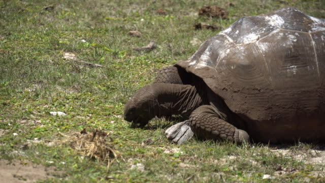 Old, land turtle living on the island tortoise turtle slowly moving through the scene on green grass walking slow looking at camera old ancient endangered tropical wildlife animal giant tortoise stock videos & royalty-free footage