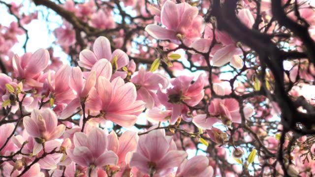 Old Magnolia Tree Blooming From Below video