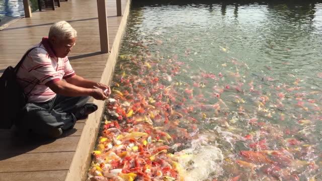 old man feeding fancy carp or koi fish - karp filmów i materiałów b-roll