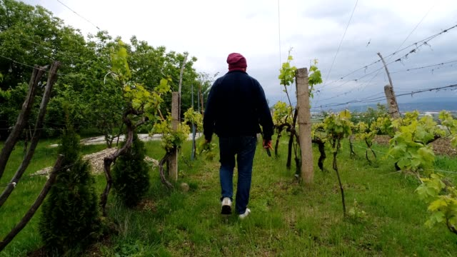 Old man walking trough vineyard