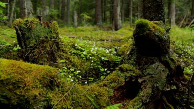 old mossy stumps in spring forest - pianta sempreverde video stock e b–roll
